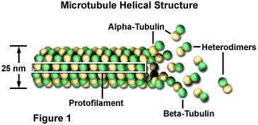 microtubles2